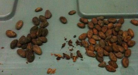 pierre marcolini cocoa beans porcelana vs cuba
